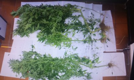 ANACAPRI:  40 GRAMMI DI MARIJUANA E PIANTINE DI DROGA. Denunciati in due per traffico e produzione